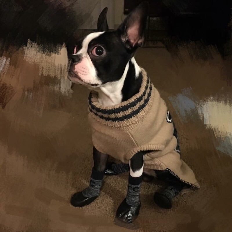 涨姿势时间到--蠢萌可爱小狗子--波士顿梗